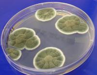 Penicillium colonies